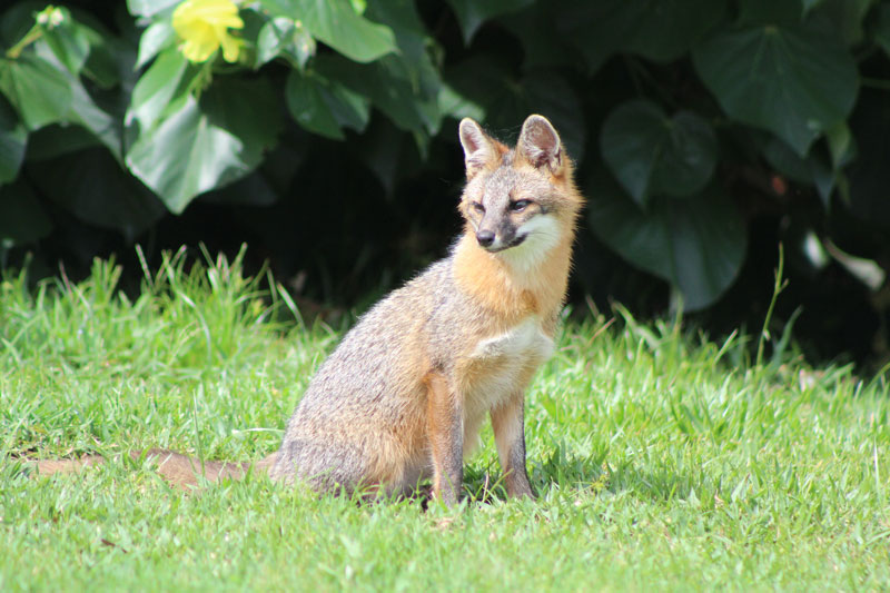 Red fox on the golf course