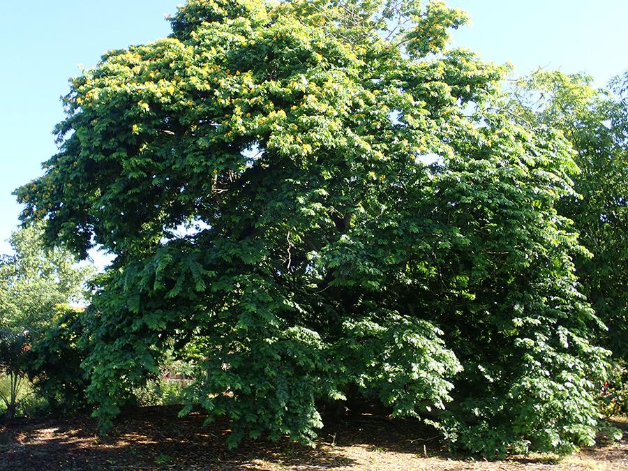 http://pbcspauthor/coextension/SiteImages/News/Bulnesia tree.JPG