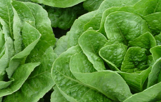 http://pbcspauthor/coextension/SiteImages/News/Lettuce.jpg