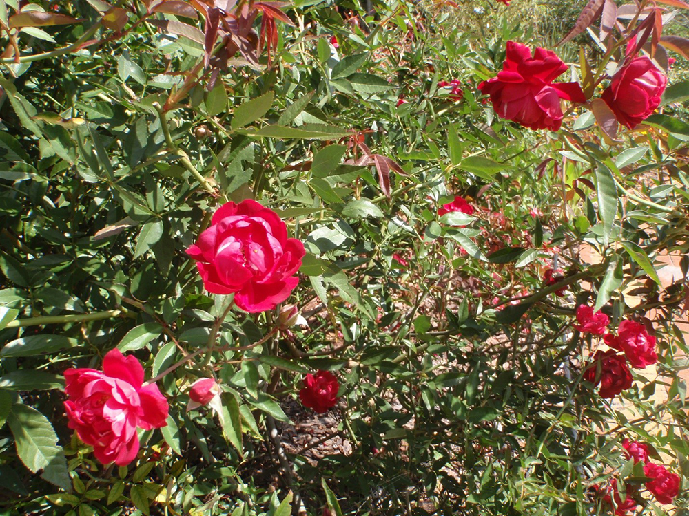 http://pbcspauthor/coextension/FACS/SiteImages/News/Louis.Phllippe.rose.jpg