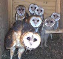 /coextension/SiteImages/News/barn owls.jpg