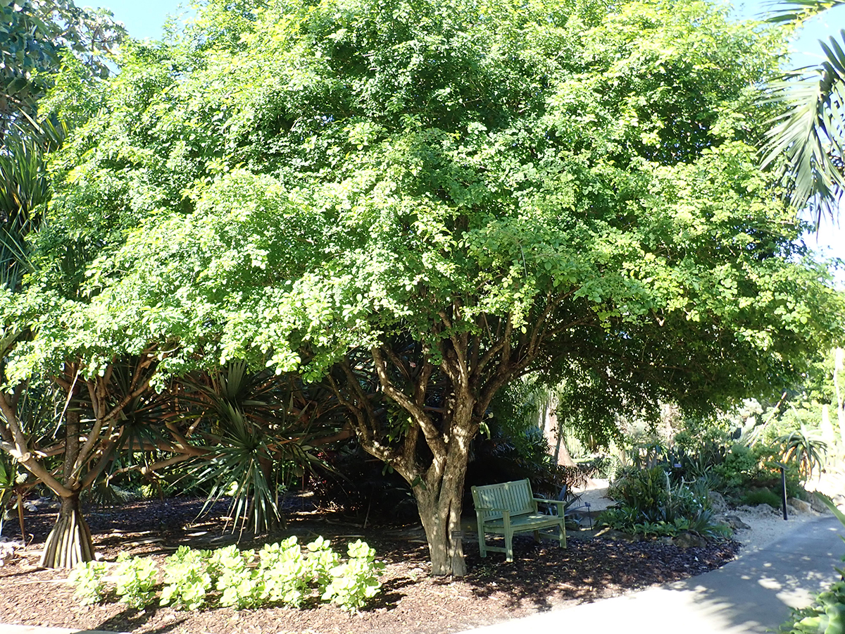 http://pbcspauthor/coextension/SiteImages/News/candlefruit.tree.Mounts.Botanical.Garden7.13.18.JPG