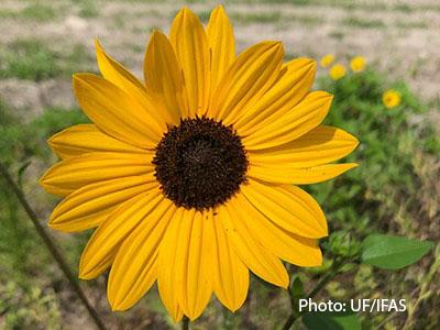 http://pbcauthor/coextension/SiteImages/News/sunflower.jpg