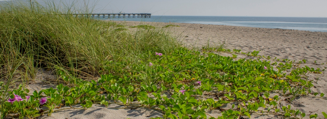 Picture of a healthy dune/beach habitat with dune vegetation