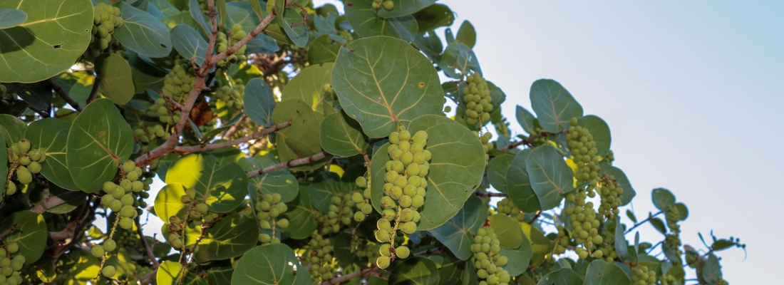 Close up Picture of a Sea Grape Tree Fruiting