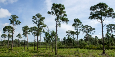 Picture of a pine tree forest at a Palm Beach County Natural Area
