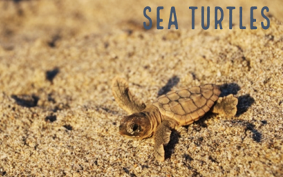 Picture Link to Sea Turtle Web Page