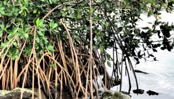 lagoon mangroves picture