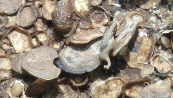 Close up image of oysters