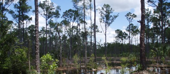 Picture of flooded pine forest at Sandhill Crane Wetlands Natural Area