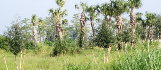 Picture of tree lined wildlife cooridor between Loxahatchee Refuge and Corbett Management Area