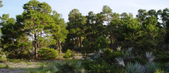Picture of slash pine trees and saw palmetto at Lantana Scrub Natural Area