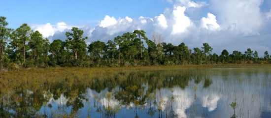 Picture of open water wetland and slash pine forest at Loxahatchee Slough Natural Area