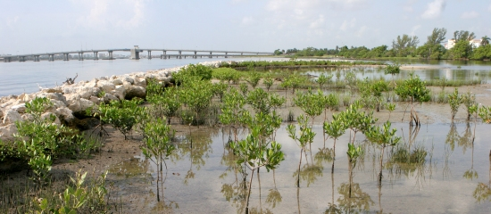 Picture of a restored mangrove island in Lake Worth Lagoon Estuary