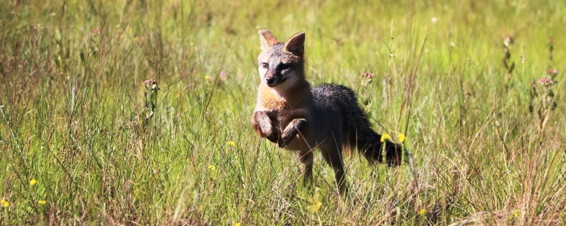 Picture of a fox running through wildflower meadow in a Palm Beach County Natural Area