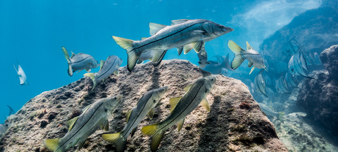 Artificial reef rock supporting marinelife such as snook