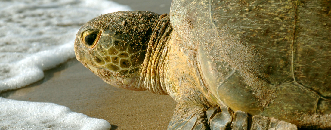 Closeup image of green sea turtle face
