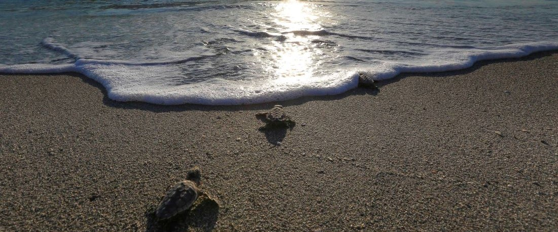 Sea Turtle Hatchlings Crawling to Ocean