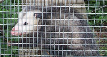 possum in a cage
